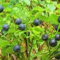 Будьте обережні при зборі лісових ягід на Житомирщині