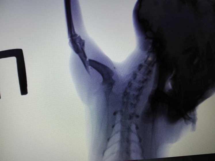 Допоможіть киці з поламаною лапкою: Завтра в неї операція