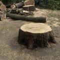 В центрі Житомира зрізали 150-річні дерева. ФОТО
