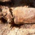У Коростишівському районі шукачі металу натрапили на стокілограмові авіаційні бомби часів минулої війни
