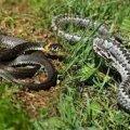 Однією змійкою можна нагодувати трьох осіб