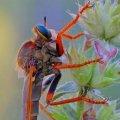В Кривом Роге заметили доисторическую муху-убийцу