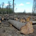 На Поліссі масово вирубують ліс: хто винен?