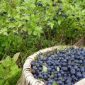 Прикордонники затримали жителів Олевщини, які незаконно перетнули кордон, збираючи ягоди