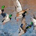 На Житомирщині незабаром стартує сезон полювання на диких птахів