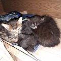 За дві неділі в Житомирі волонтеру підкинули більше 20-ти кошенят: Потрібна допомога