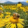 Апітерапія: Чи лікують бджолина отрута і сон на вуликах
