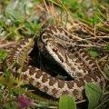 Як уберегтися від укусів змій