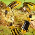 На Житомирщині кукурудзу знищує небезпечний шкідник