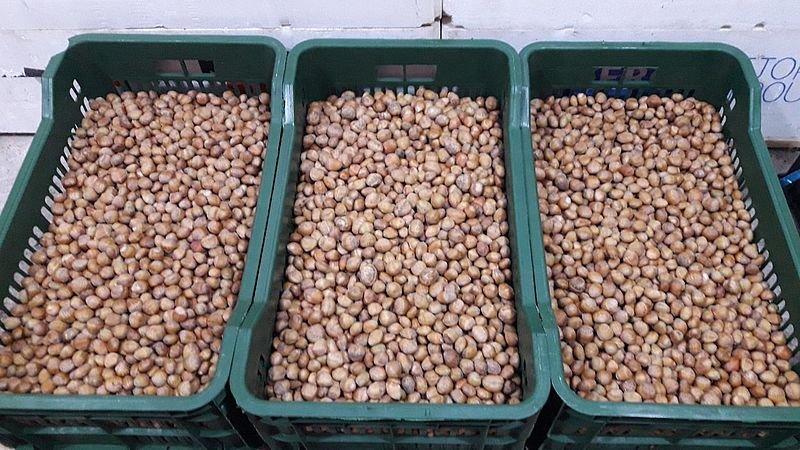 Ведмежий горіх вирощують у Житомирському лісгоспі
