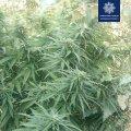 В Житомирі на прибудинковій території поліцейські знайшли кущі коноплі