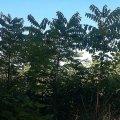 Справжній горіховий ліс нині має і Житомирщина