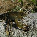 Сьогодні закінчилась заборона на лов раків у водоймах Житомирської області