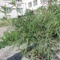 У двох районах Житомирської області запровадили карантин через амброзію та кукурудзяного жука