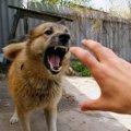 На Бердичівщині зафіксовано сказ: тварина покусала місцевих жителів