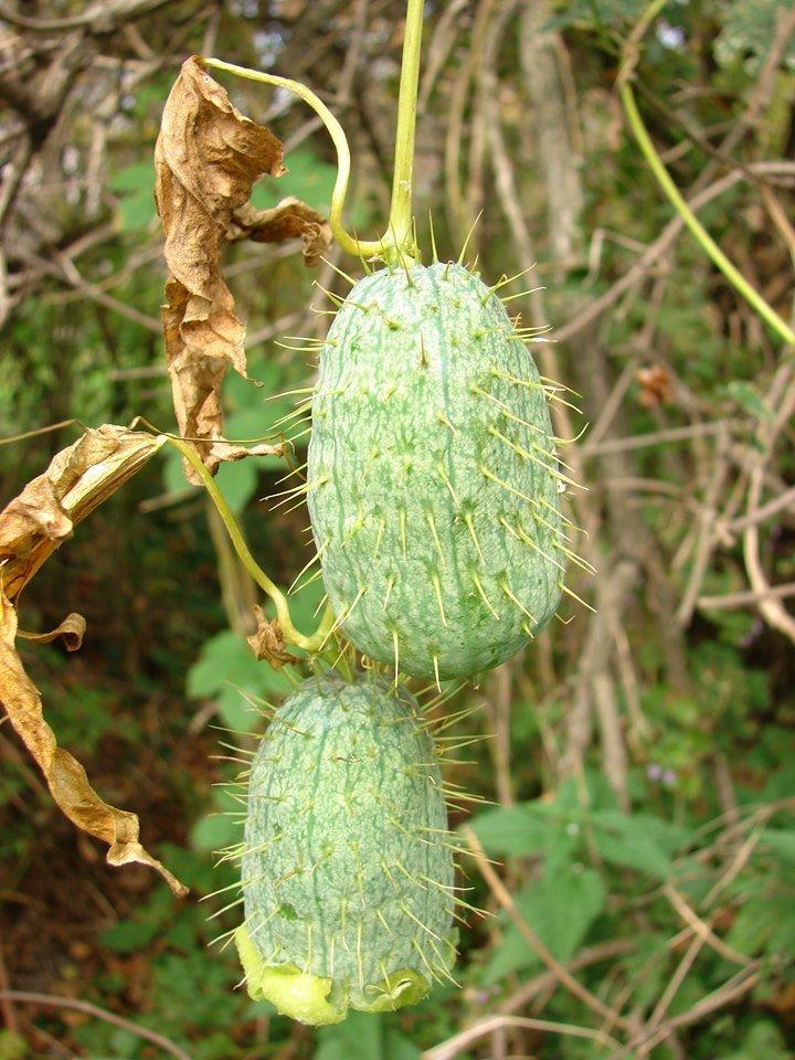 Нашествие растений-трансформеров – не название страшного мультика, а печальная реальность