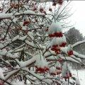 Чим небезпечний сніг для городу і як врятувати рослини