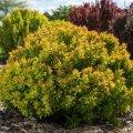 Садимо барбарис восени