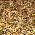 Викиди зі спаленого листя у 350 разів гірші за сигарету