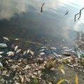 На річці Уж зафіксовано масову загибель риби