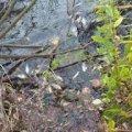 В Житомирській області поліцейські розслідують масову загибель риби в річці Уж