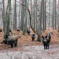 Дикі кабани та олені в Явненському лісництві на Житомирщині. ФОТО