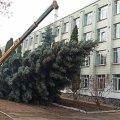 Біля ліцею у Житомирі зрізали ялинку, яку встановлять на майдані Корольова