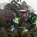 """Після новорічних та різдвяних свят КП """"Зеленбуд"""" у Житомирі прийматиме ялини та сосни на утилізацію"""