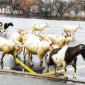 Фоторепортаж. Козли переходять дорогу у Житомирі