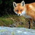 Як на Польовій у Житомирі лисиця бігає поміж дворів. ВІДЕО