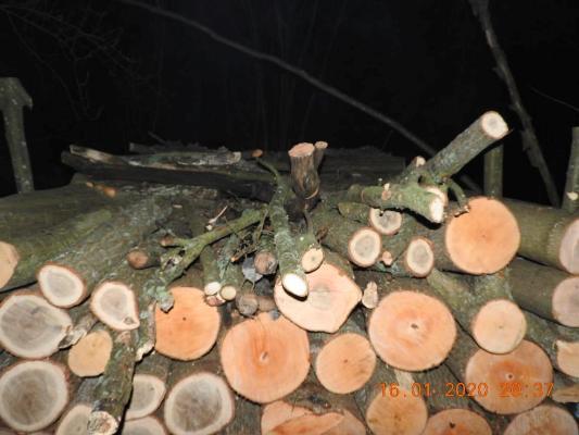 Державна екологічна інспекція Поліського округу нарахувала близько 1 млн. збитків за зрізані дуби на Житомирщині. ФОТО