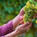 На Житомирщині чоловік вирощує 100 сортів винограду