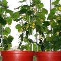 Як легко виростити самому огірок на підвіконні