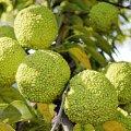 Адамове яблуко: дивовижна рослина, яка може прикрасити ваш сад