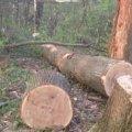 На Житомирщині зловмисники зрізали п'ять дубів вартістю понад 100 тисяч гривень