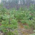 50 млн грн витратили в минулому році баранівські лісівники на ведення лісового господарства
