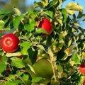 Що не можна садити поряд з яблунею