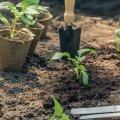 Як виростити міцну і коренасту розсаду перців на товстих ніжках в домашніх умовах