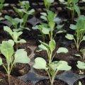 Поради, як правильно вирощувати розсаду капусти