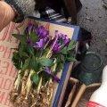 У Житомирі продають закарпатські крокуси. ФОТО
