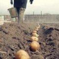 Основні правила посадки картоплі. Що треба знати