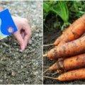Сприятливі дні у квітні, для посіву насіння моркви. Календар по днях