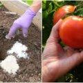 Що краще покласти в лунку при посадці помідорів, щоб вони не хворіли, та давали гарний врожай