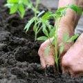 Рослини, які не можна саджати поряд одне з одним, щоб уникнути поганого врожаю