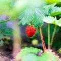 Чим обробити полуницю на весні, щоб вона не хворіла, а добре родила