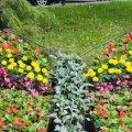 75 тисяч квітів висадять на клумбах Житомира