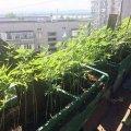У Житомирі чоловік висадив на балконі плантацію коноплі