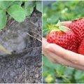 Підживлення полуниці — як правильно це робити, щоб мати гарний врожай