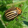 Чого боїться колорадський жук?