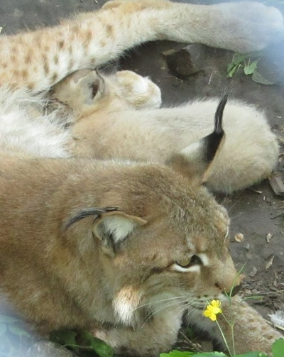 Черкасский зоопарк впервые показал новорожденную рысь